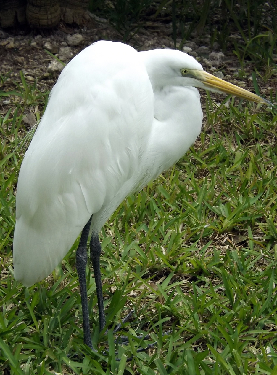 Feb13_great_egret