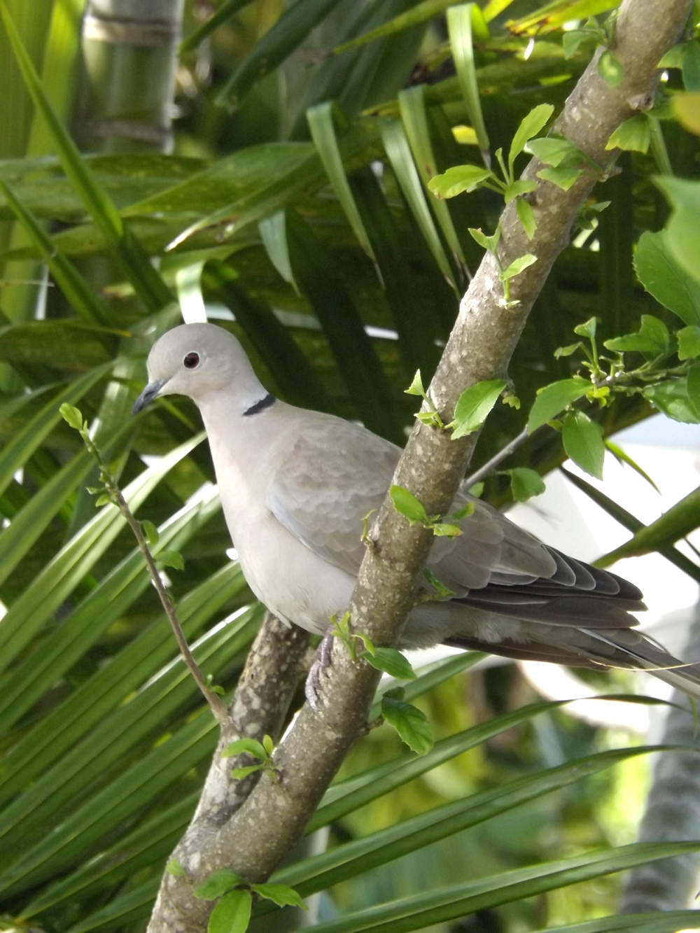 Feb14_ringnecked_dove