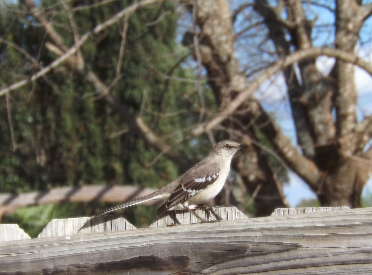 June02_northern_mockingbird
