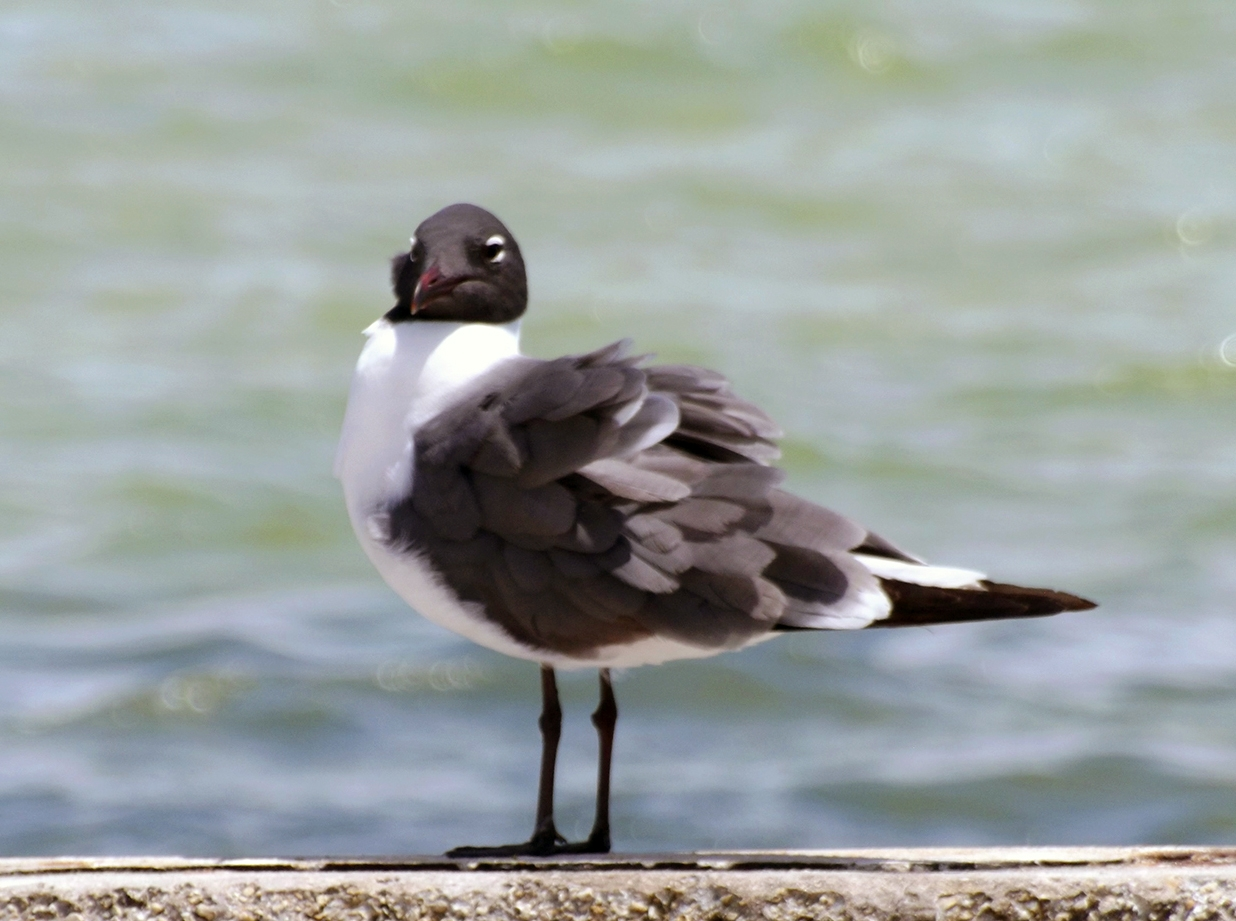 May18_blackheadedgull