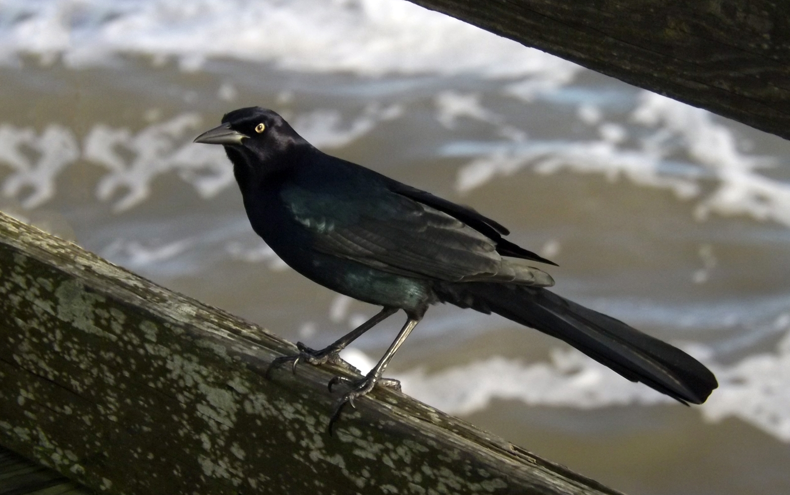 Nov02_grackle