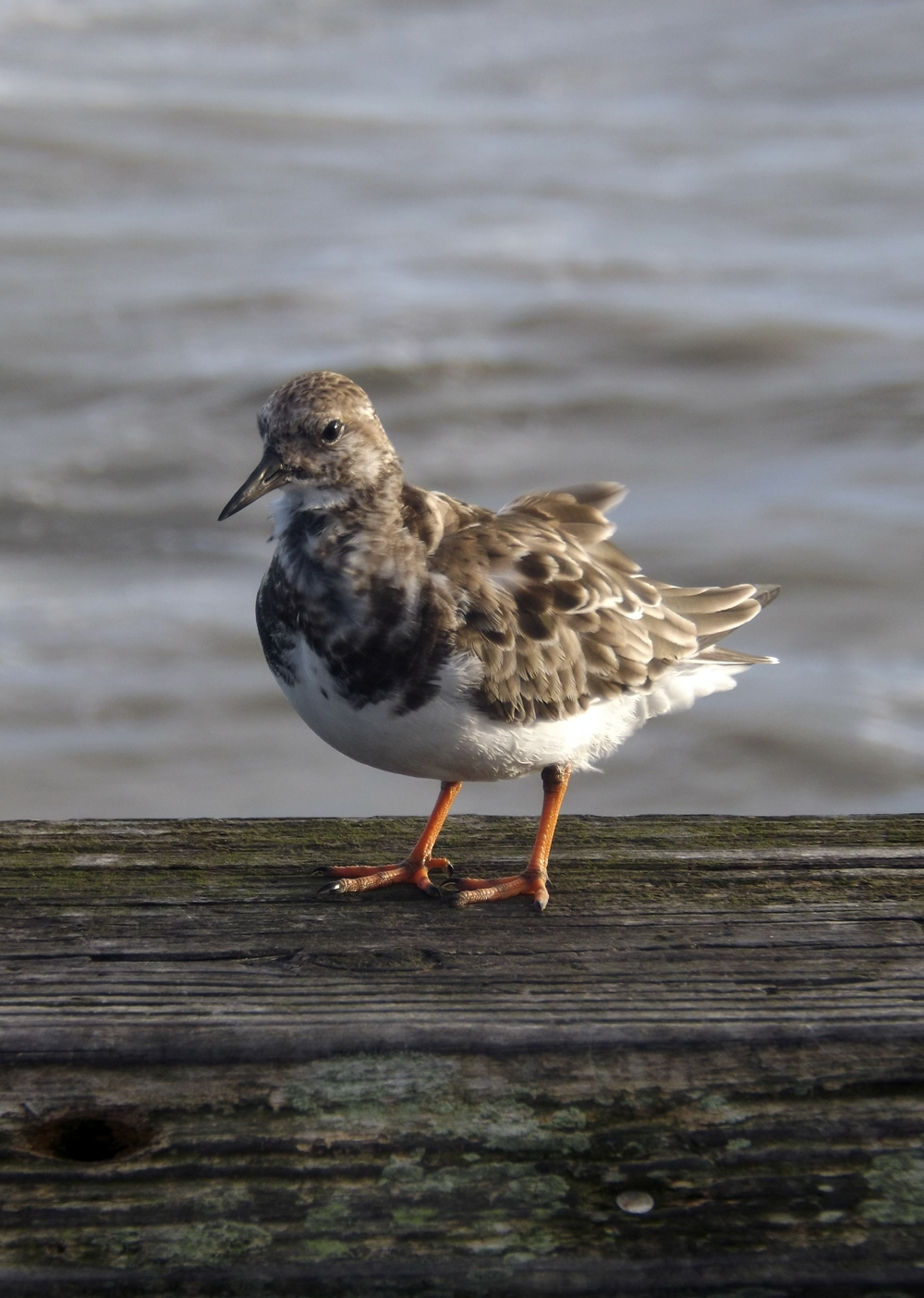 Nov08_turnstone