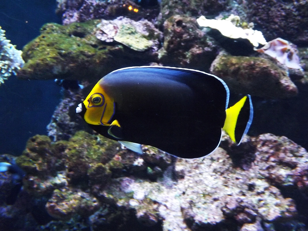 spectacled_angelfish
