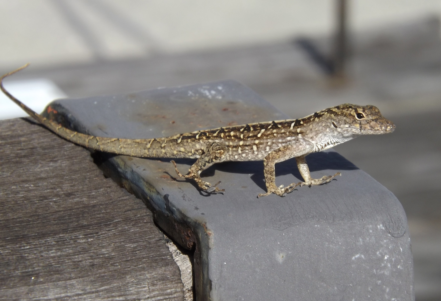 Oct25_brown_anole