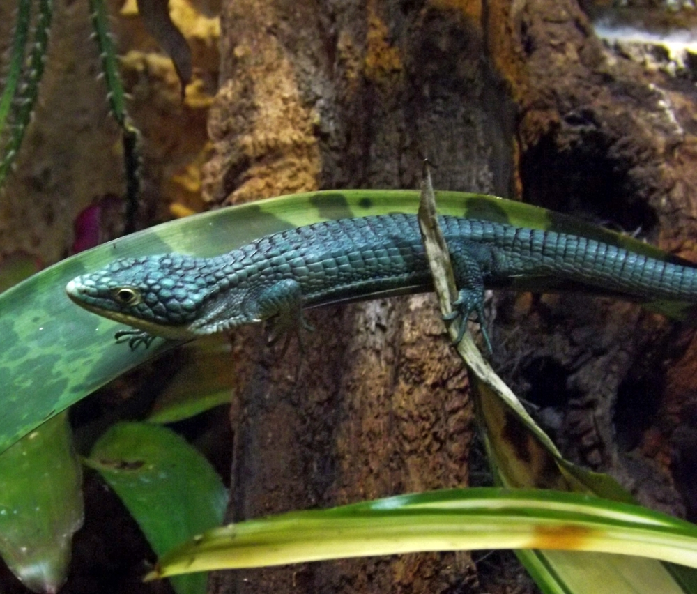 alligator_lizard