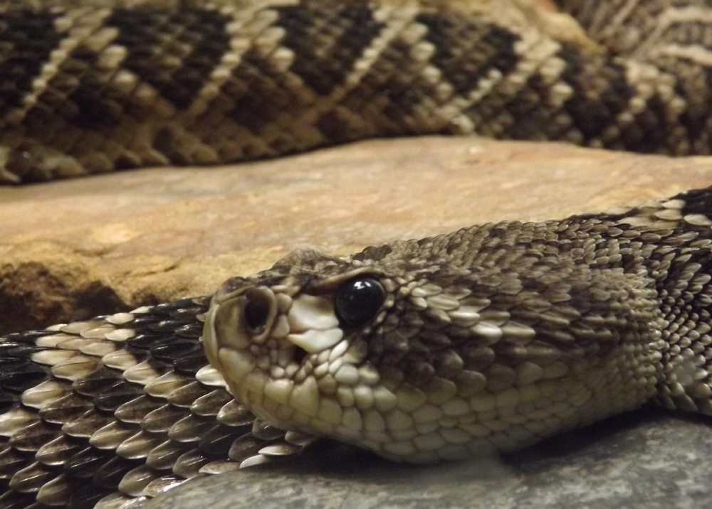 eastern_diamondback